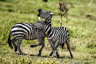 """Зебри. Национален парк """"Аруша"""", Танзания"""