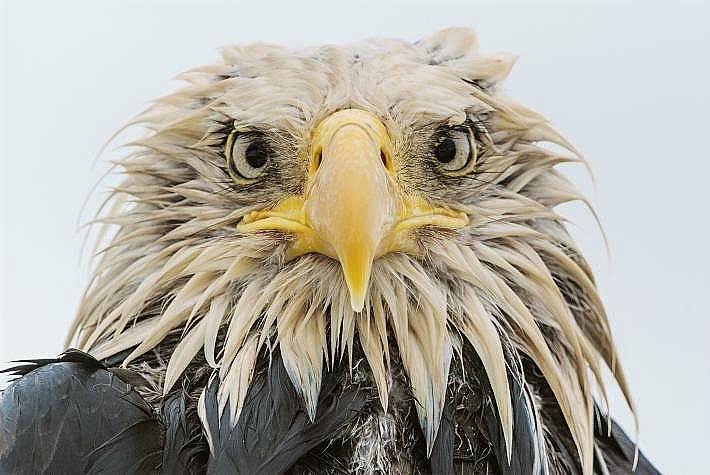 Заради проливния дъжд този белоглав орел изглежда по-скоро раздърпан, отколкото величествен. Алеутски острови, Аляска.