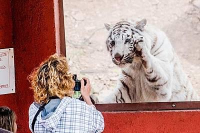 В зоологическата градина във Франция жена снима бял тигър. Табелата до нея отбелязва, че не трябва да докосва стъклото. Историите за хората, които вли...