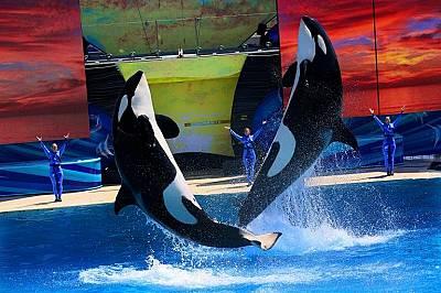 Косатки изпълняват номера в SeaWorld Сан Диего през 2014 г.