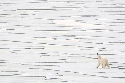 Полярна мечка. Свалбард, Норвегия