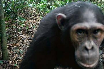 Любопитни шимпанзета