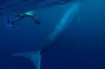 Край синия кит - дори съвсем невръстен - човекът изглежда дребна риба. Преди десетилетия, когато броят им рязко намалявал, тези животни станали символ...