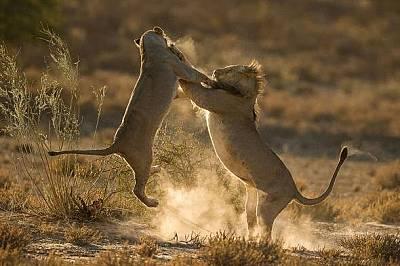 """Лъвове. Национален парк """"Кгалагади Трансфронтиър"""", Южна Африка"""