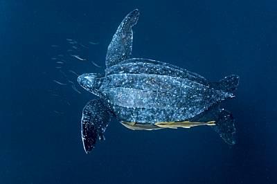 Женска костенурка с размерите на вана лениво се носи из топлите плитчини край островите Кай в Индонезия; рибите прилепала използват случая да се повоз...
