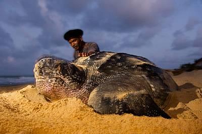 С порозовяло от усилията гърло женска кожеста костенурка снася яйца на плажа Матура в Тринидад пред очите на Франсис Лакан. Преди 20 години някои мест...