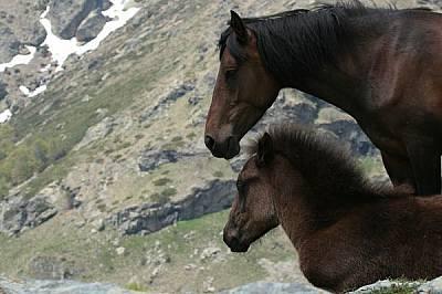 Някои кобили отбиват малките си късно през есента, а други - непосредствено преди отново да родят. Когато храната е в недостатъчни количества, майката...