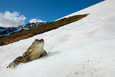 Непобедимите снежни жаби