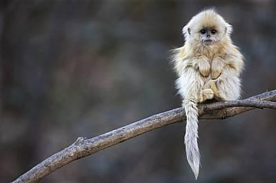 Маймуната, която не се бои от студа