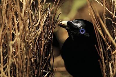 Беседковите птици