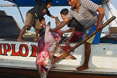 Рибари докарват акула реквием на пазар в Индонезия. Тялото ще бъде продадено за около 100 долара на търг на брега. Две трети от тази сума е цената на...