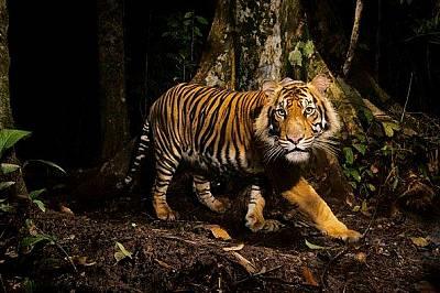Помощ за тигрите