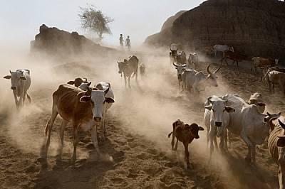 Говеда и кози вдигат прахоляк, който застила сушавия район на Омо. Животните се ценят като символ на богатство: в много племена мъжете не могат да се...