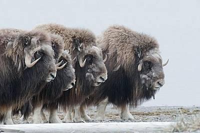 Овцебикове се събират в кръг, за да защитят малките си. Земите в Крайбрежната равнина са застрашени от потенциалното развитие на нефтодобива.
