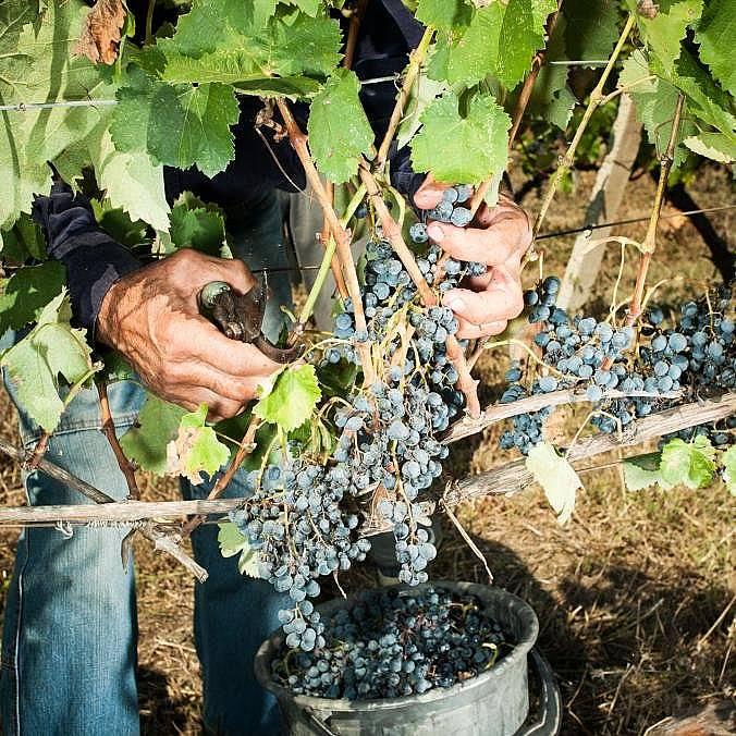 Стари сортове гроздеВинарските сортове грозде вероятно произхождат от подножието на Кавказ, където са известни над 500 вида.
