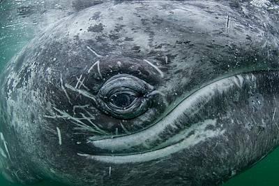 Сивите китове, като този, мигрират до 16 000 км на година, от топлите води на Баха Калифорния до Берингово море.