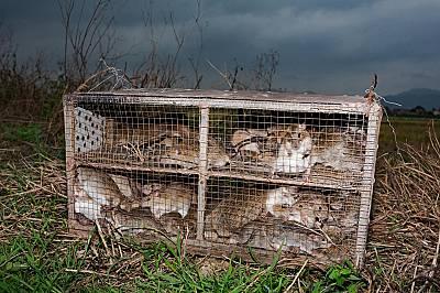 Плъховете, уловени в провинция Куанг Нин, са затворени в клетки, преди да бъдат отнесени към местните пазари и кухни.