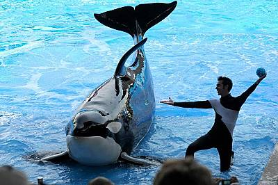 Кайла, на снимката в SeaWorld Orlando през 2011 г. Тя почина през януари 2019 г. на 30-годишна възраст.
