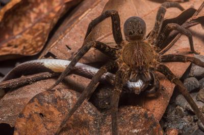 Може ли паяк да убие и да изяде змия?