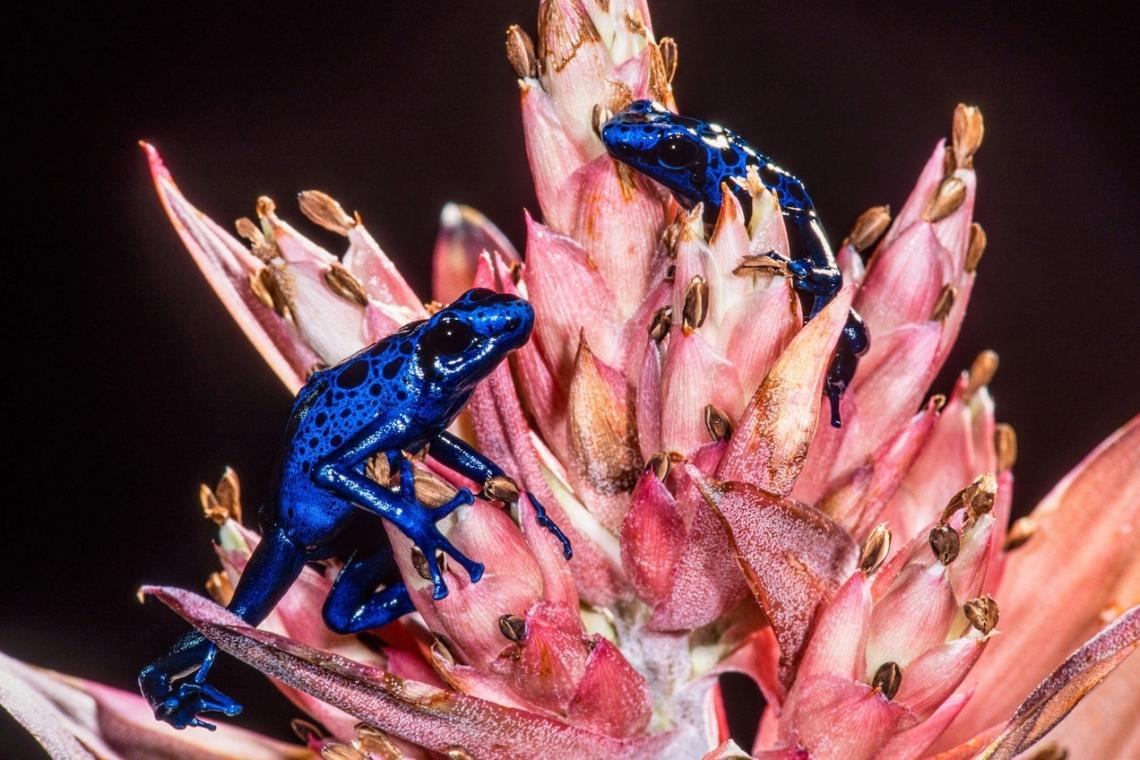 Сините дърволази се срещат в Суринам.