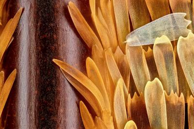Крилото на пеперуда Morpho didius при двадесетократно увеличение.