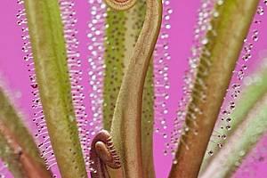 Пищната южноафриканска царска росянка - най-голямото растение от рода Drosera, развива листата си, които могат да достигнат 0,5 м дължина. Drosera reg...
