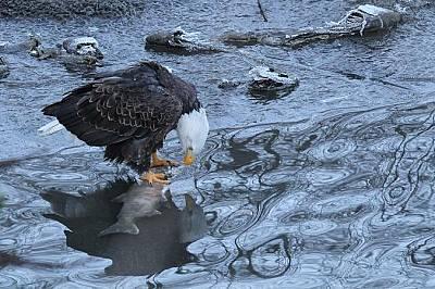Белоглав орел. Вашингтон, САЩ