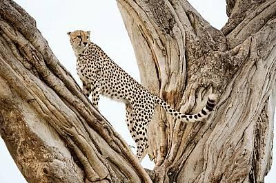 Гепарди на ръба