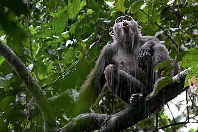 """Докато дъждът се лее над националния парк """"Нуабале-Ндоки"""", едно шимпанзе се включва в хора от развълнувани гласове, отекващи над го..."""