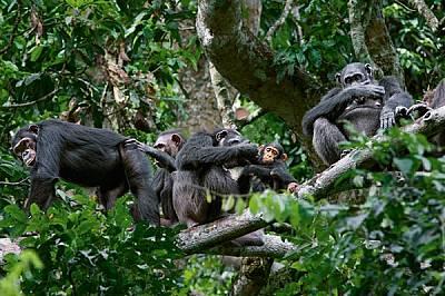 След сутрешното хранене ситите шимпанзета от групата Мото общуват в короните на дърветата. Обикалящите за храна групи час по час променят своята числе...