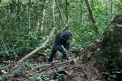 """Изработване на сечива В търсене на високопротеинова закуска мъжко шимпанзе е дошло до термитник, въоръжено с пръчка за пробиване и """"въдица&a..."""