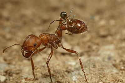 Не е ясно дали мравките жетвари понасят чистачите поради същата взаимна изгода. След няколко минути обаче изглежда те се изморяват от присъствието им....
