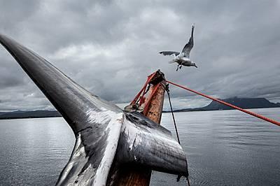 Последните китоловци на Севера