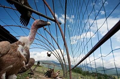 Докараните от Испания белоглави лешояди трябва да престоят в специална клетка няколко месеца, за да образуват група, преди да бъдат освободени. Природ...