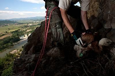 Опръстеняване на малък белоглав лешояд в гнездо на скалите край Маджарово, Източни Родопи. Това маркиране е един от начините младите птици да бъдат пр...
