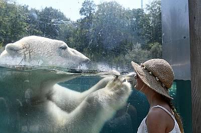Посетител наблюдава зад стъкло полярна мечка в зоологическата градина във Франция. В много национални паркове в САЩ, включително в Йелоустоун, хората...