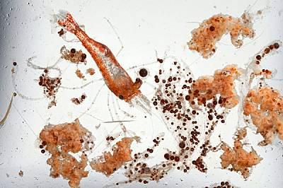 Скарида с големината на кламер плува сред тъмнокафяви капки петрол. Не се знае какво ще е въздействието на разлива върху яйцата и ларвите на скаридите...