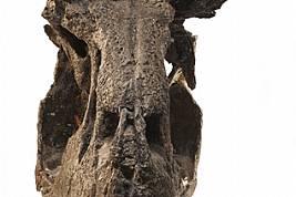 CARNOTAURUS Фосил на черепЧерепът му, който има устройството на стенобойна машина, е снабден с чифт здрави рога. Тези ужасяващи оръжия обаче вървят в...