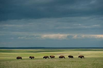 Някога десетки милиони бизони препускали с тропот из Великите равнини в търсене на паша. До края на XIX в. почти всички били избити. Днес по-голямата...