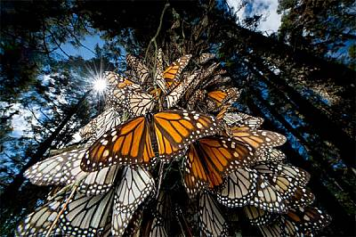 Милиони пеперуди монарх пътуват към традиционните си зимовища в смаляващите се гори от планинска ела в Мексико. Носейки се по ветровете от Южна Канада...
