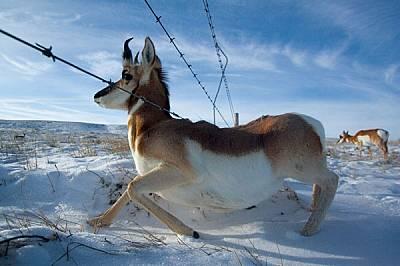 Вилорозите бягат бързо - с близо 100 км/ч, - но рядко успяват да прескочат оградите. Някои собственици на ранчо планират да повдигнат най-ниските жици...