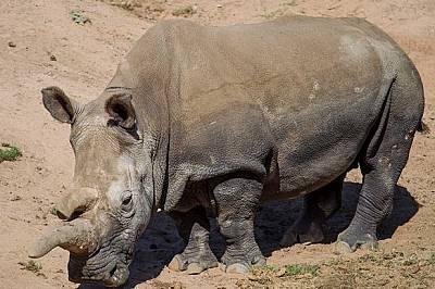 Емиграция в Австралия - последен шанс за оцеляването на носорозите