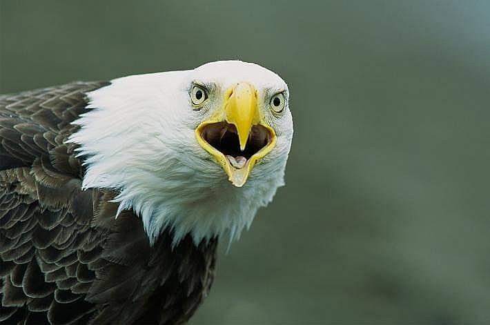 """Белоглав орел """"озвучава"""" Алеутските острови."""