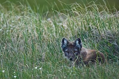 Полярна лисица Alopex lagopus се крие във високите треви. Полярна лисица Alopex lagopus се крие във високите треви. Тя сменя козината си от зимно бяло...