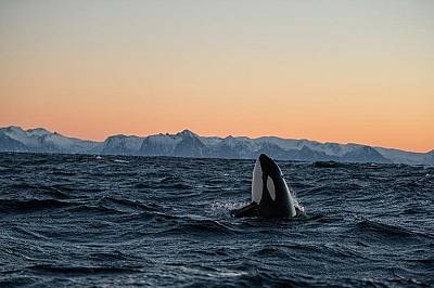Косатка показва главата си от над водата близо до Норвегия.