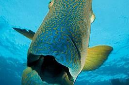 Странният вълнист хейлинус е само един от многото хиляди видове, обитаващи рифа.