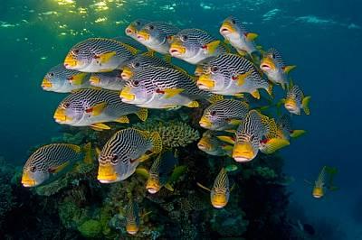 Ритмичните течения в залива Чалънджър люлеят пасаж от ивичести плекторинхуси. Обитаващи придънния слой, тези риби с месести устни се хранят нощем, лов...