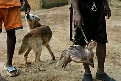 Мъртвото бодливо свинче, което този човек продава в Оуесо, Република Конго, може да съдържа болестотворен вирус. Необработено и неконтролирано, месото...