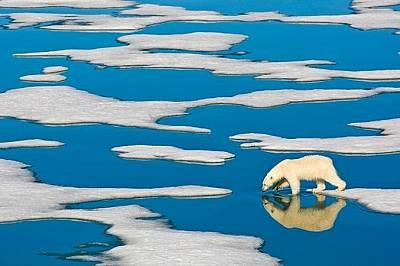 Бяла мечка в Шпицберген, Норвегия.