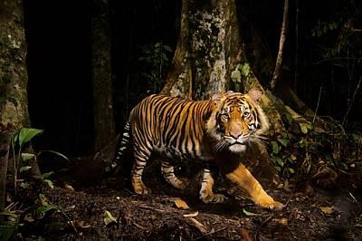 Тигър се взира в камера капан, която е задействал, ловувайки рано сутрин в горите на Северна Суматра, Индонезия. Тигрите се нагаждат добре к...